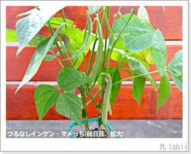 ペット栽培III(つるなしインゲン)43
