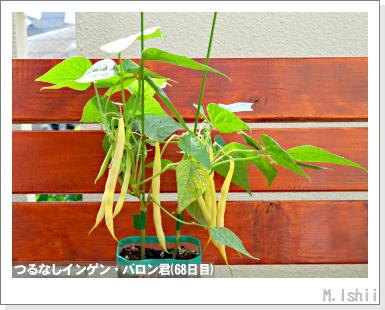 ペット栽培III(つるなしインゲン)44