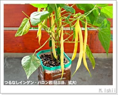 ペット栽培III(つるなしインゲン)45