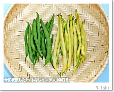 ペット栽培III(つるなしインゲン)46