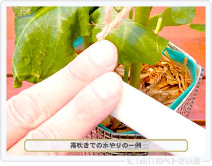 ペトさい(つるなしインゲン・改)36