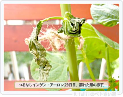 ペトさい(つるなしインゲン・改)38