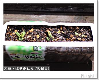 ペット栽培II(大豆・はやみどり)05