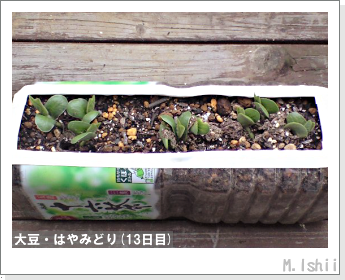 ペット栽培II(大豆・はやみどり)06