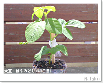 ペット栽培II(大豆・はやみどり)14