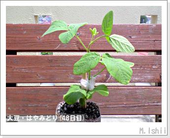 ペット栽培II(大豆・はやみどり)15