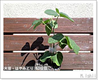 ペット栽培II(大豆・はやみどり)16