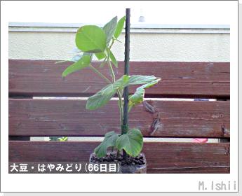 ペット栽培II(大豆・はやみどり)17