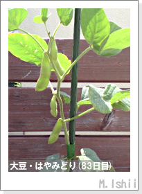 ペット栽培II(大豆・はやみどり)22