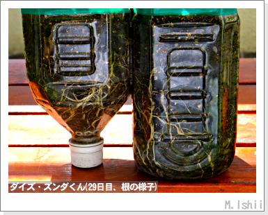 ペット栽培III(ダイズ)09
