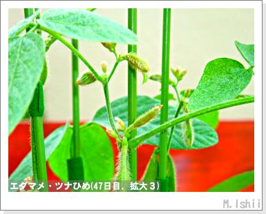 ペット栽培III(エダマメ)34