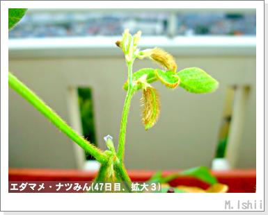 ペット栽培III(エダマメ)37