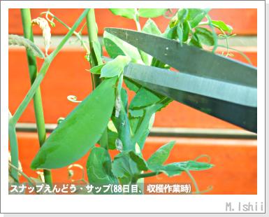 ペット栽培III(スナップえんどう)33