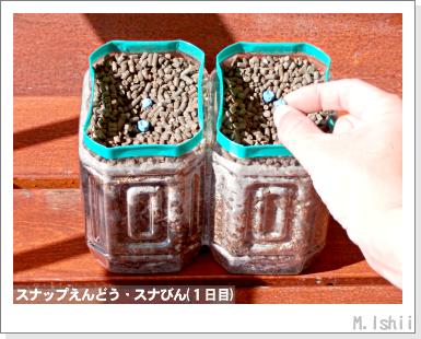 ペット栽培III(スナップえんどうR)04