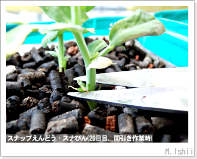 ペット栽培III(スナップえんどうR)08