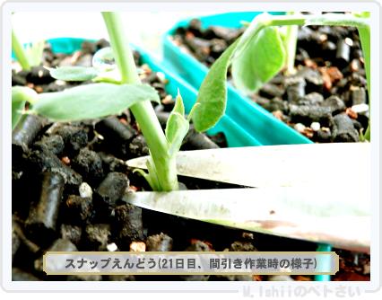 ペトさい(スナップえんどう)14