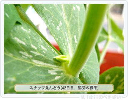 ペトさい(スナップえんどう)21