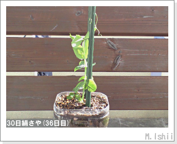 ペット栽培II(30日絹さや)13