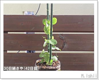 ペット栽培II(30日絹さや)14