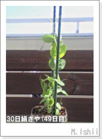ペット栽培II(30日絹さや)15