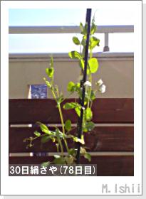 ペット栽培II(30日絹さや)20