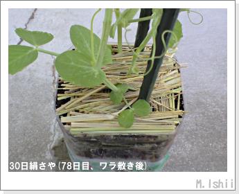 ペット栽培II(30日絹さや)21