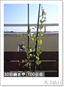 ペット栽培II(30日絹さや)26