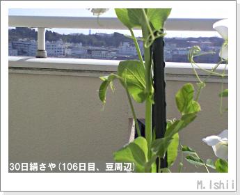ペット栽培II(30日絹さや)28