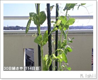 ペット栽培II(30日絹さや)29