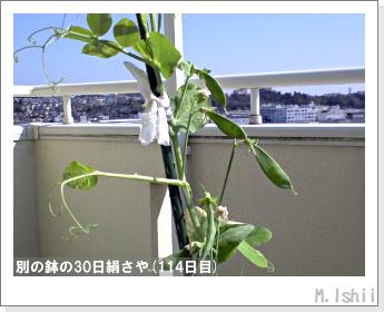 ペット栽培II(30日絹さや)30