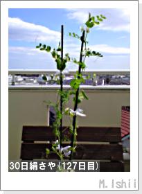 ペット栽培II(30日絹さや)31