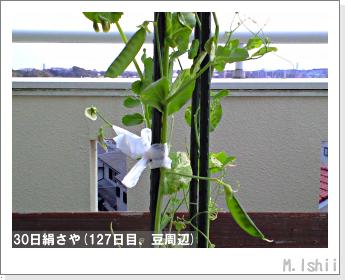 ペット栽培II(30日絹さや)32