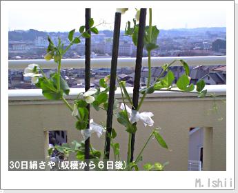 ペット栽培II(30日絹さや)34