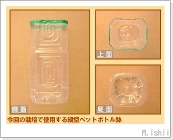 ペット栽培・試験録(30日絹さや)02