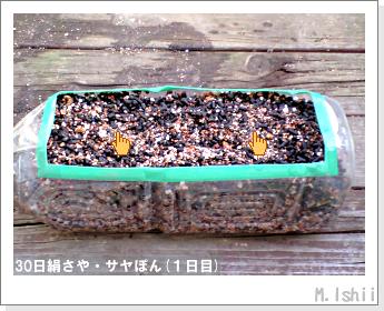 ペット栽培・試験録(30日絹さや)05