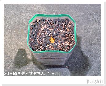 ペット栽培・試験録(30日絹さや)06