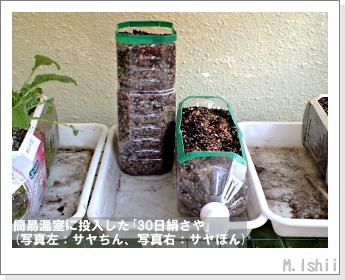 ペット栽培・試験録(30日絹さや)07
