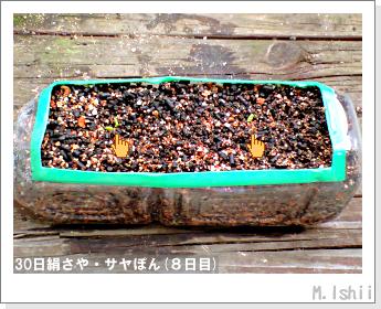 ペット栽培・試験録(30日絹さや)08