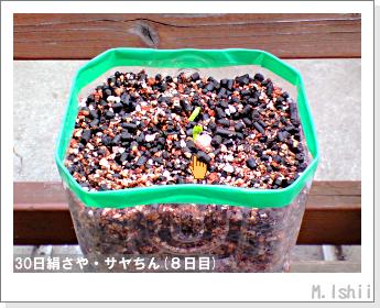 ペット栽培・試験録(30日絹さや)09
