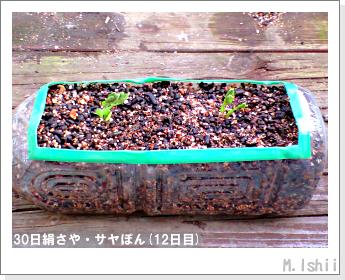 ペット栽培・試験録(30日絹さや)10