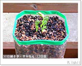 ペット栽培・試験録(30日絹さや)11