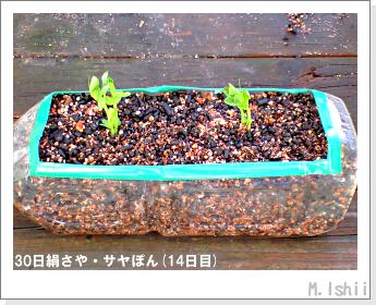 ペット栽培・試験録(30日絹さや)12