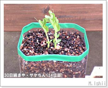 ペット栽培・試験録(30日絹さや)13