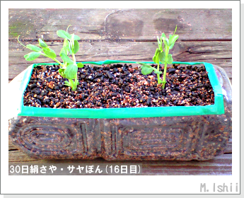 ペット栽培・試験録(30日絹さや)14