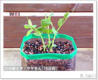 ペット栽培・試験録(30日絹さや)15