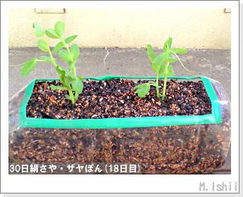 ペット栽培・試験録(30日絹さや)16