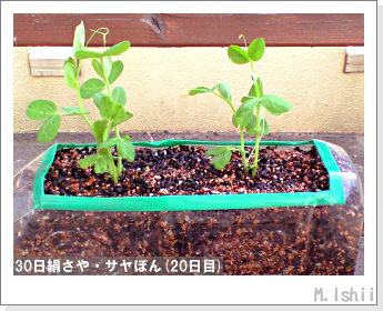 ペット栽培・試験録(30日絹さや)18