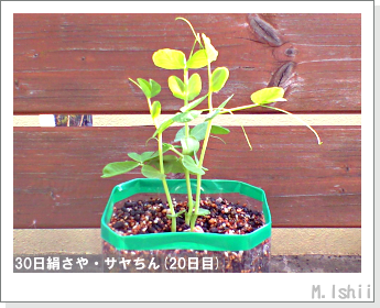 ペット栽培・試験録(30日絹さや)19