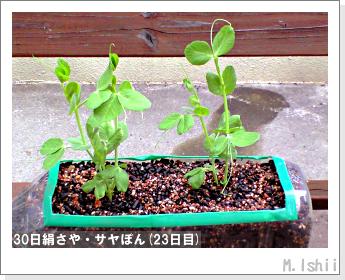 ペット栽培・試験録(30日絹さや)20