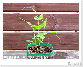 ペット栽培・試験録(30日絹さや)21